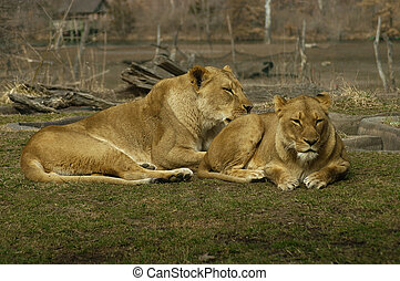 Two Lions - Two lions grooming