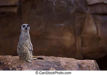 Meercat standing guard