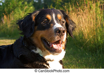 A Bernese Mountain dog in nature