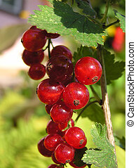 red currant fruit - in garden