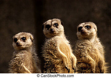 Three Meercats - Three meercats standing guard golden light