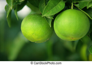 Green Citrus Fruits - Two green citrus on the tree, shallow...