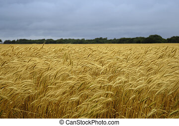 Wheat Field - A field of golden yellow wheat under a stormy...