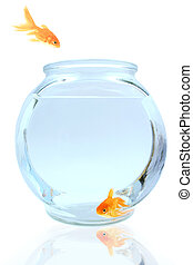 Come on in - Goldfish jumping into bowl
