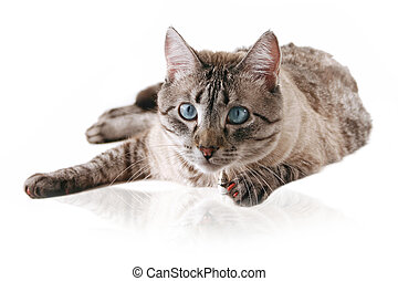 Cat - Siamese Cross Cat