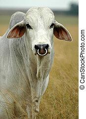 brahman, toro