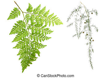 Fern Leaves - Fern leaves overwhite
