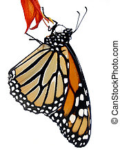 Monarch Butterfly - Isolated monarch butterfly on petal
