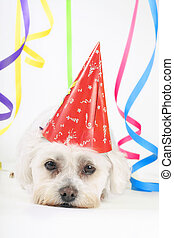Party Animal - Small white dog with a party hat amongst...