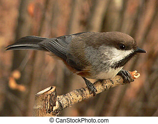 Boreal Chickadee Poecile hudsonica at Fish Creek Park,...