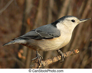 White-breasted Nuthatch (Sitta carolinensis) at Fish Creek...