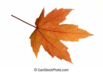 Maple Leaf Isolated - A fresh Red Maple Acer rubrum leaf in...