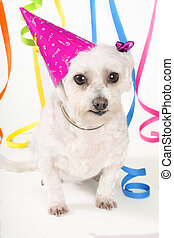 Party Pooch - Small white dog, party hat and streamers