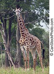 Full length shot of entire Giraffe - Full length body...