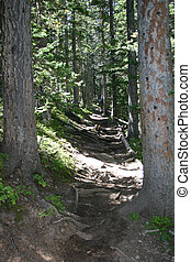 Hiking Trail - Hiking trail among the tall pines in the...