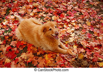 Buddy - dog in colorful leaves