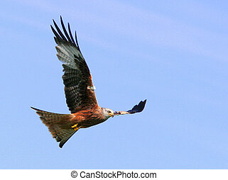 Red Kite Eagle - Red kite eagle in flight on a blue sky day