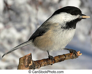 Black-capped Chickadee (Poecile atricapilla) feeding from...