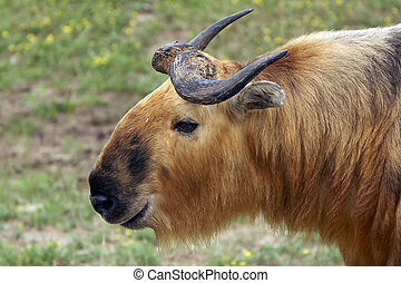 Takin (Musk Ox Relative) - Large Takin which is a relative...