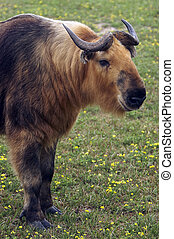 Takin Budorcas taxicolor - The Takin is related to the Musk...