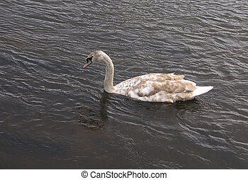 cygnet - young swan swimming on the river