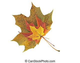 Fall leaves - Three fall leaves.