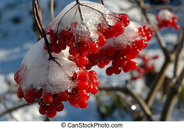 The first frost - The Snow-clad viburnum in my garden, Nikon...