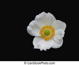 Dogwood - White flower isolated against black background