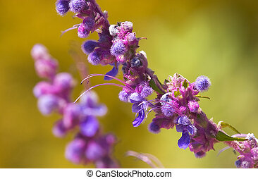 Purple Sage in Bloom on California Hillside