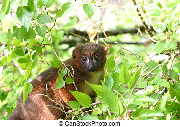 Red bellied lemur in the forest of Ranomafana, Madagascar