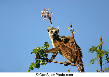 Ringtailed lemur in the Andringitha mountains area in...