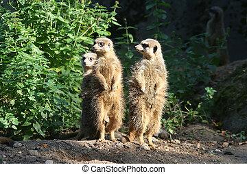 Meerkat, -, 4