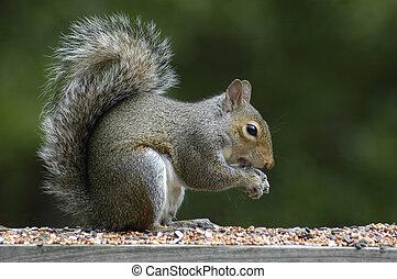 cinzento, esquilo, alimentação