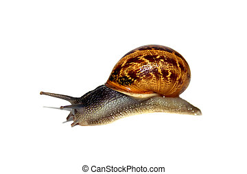 Snail - Isolated garden snail