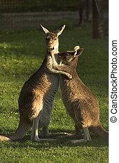Kangaroos - Two kangaroos hugging