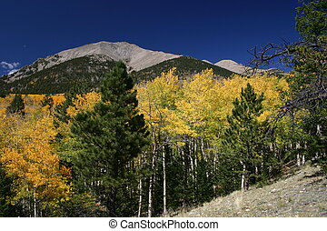 Shavano Autumn - Golden aspens frame 14,000 ft Mt Shavano in...