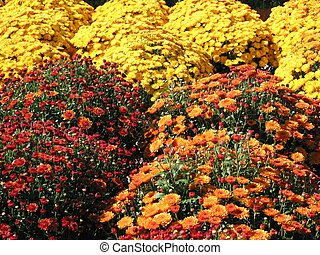 Colorful fall mums - A field of bright red, orange and...