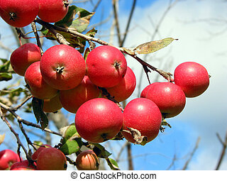 Apples on the apple tree branch - Closeup on bright red...