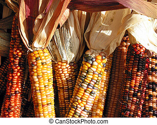 Indian corn - Colorful indian corn at Thanksgiving time