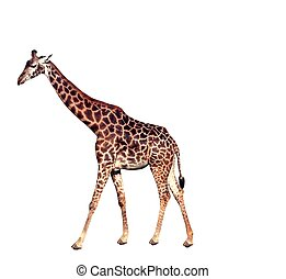 Giraffe - an isolated giraffe