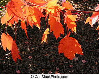 Fiery red transparent autumn leaves on a tree branch...