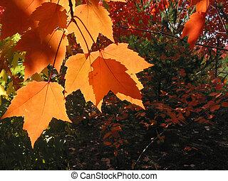 laranja, folhas, transparente, outono
