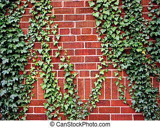 Ivy on the brick wall - Ivy climbing the brick wall of a...