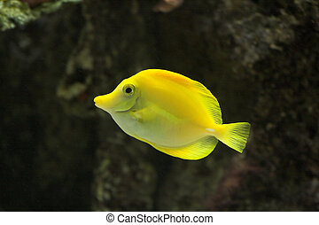 Fish - Bright Yellow Tropical Fish