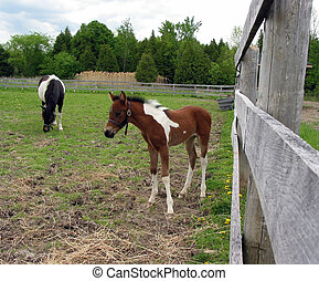 Pony colt in a pen