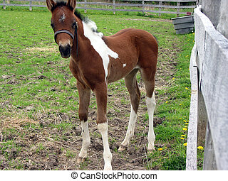 Young pony colt - Adorable young pony colt near the pen...