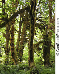 inspiring rain forests of Hoh Rain,Olympic National Park,...