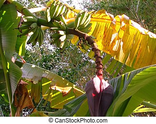 Banana Tree - shot of a banana tree barring