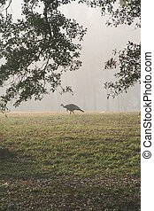 Wild Turkey 1 - A wild turkey on a foggy morning