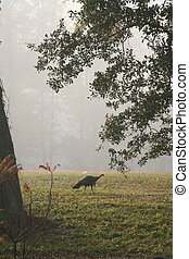 Wild Turkey 2 - A wild turkey on a foggy morning